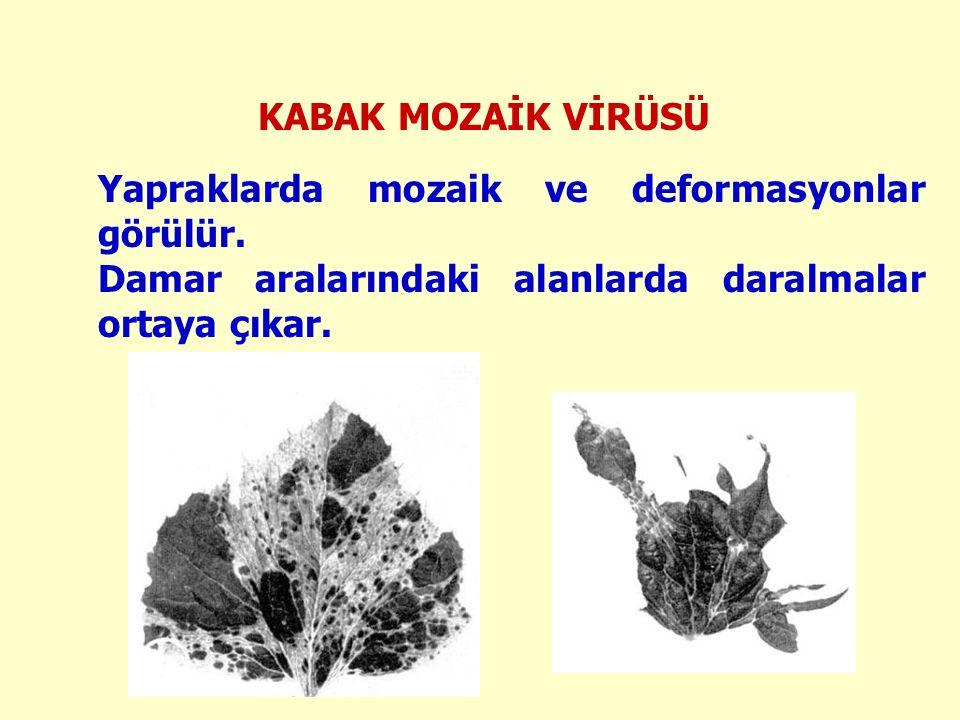 Yapraklarda mozaik ve deformasyonlar görülür. Damar aralarındaki alanlarda daralmalar ortaya çıkar.