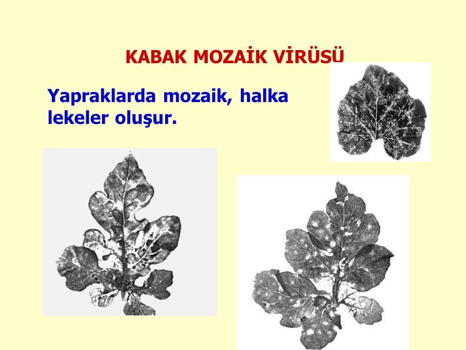 Yapraklarda mozaik, halka lekeler oluşur.