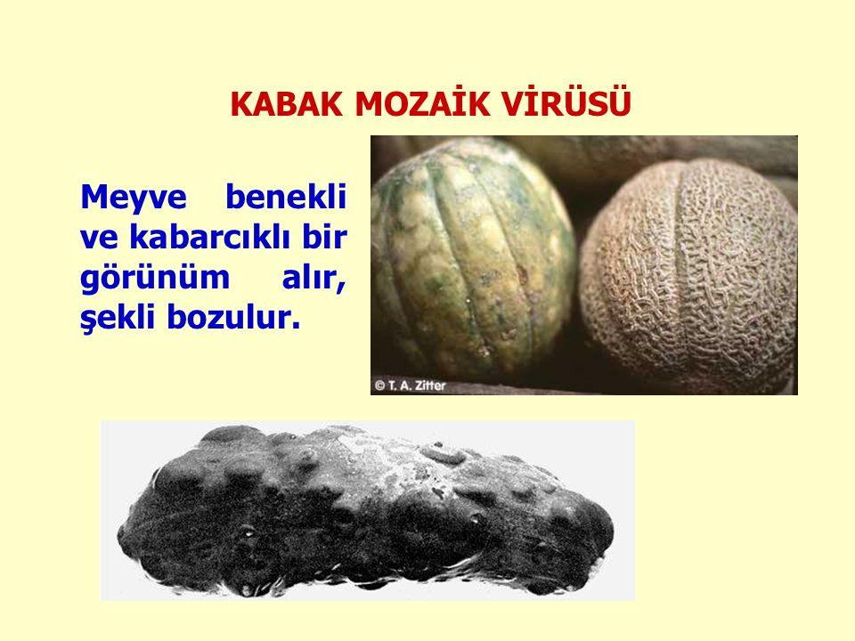 KABAK MOZAİK VİRÜSÜ Meyve benekli ve kabarcıklı bir görünüm alır, şekli bozulur.