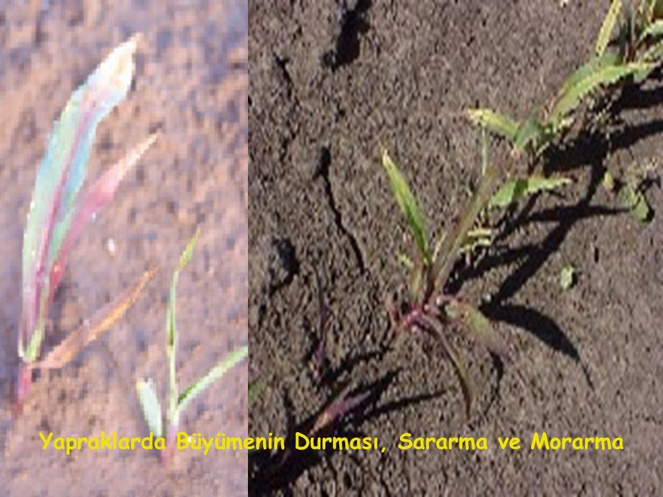 Yapraklarda Büyümenin Durması, Sararma ve Morarma