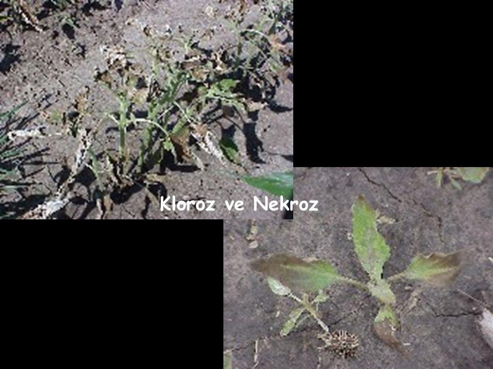 Kloroz ve Nekroz