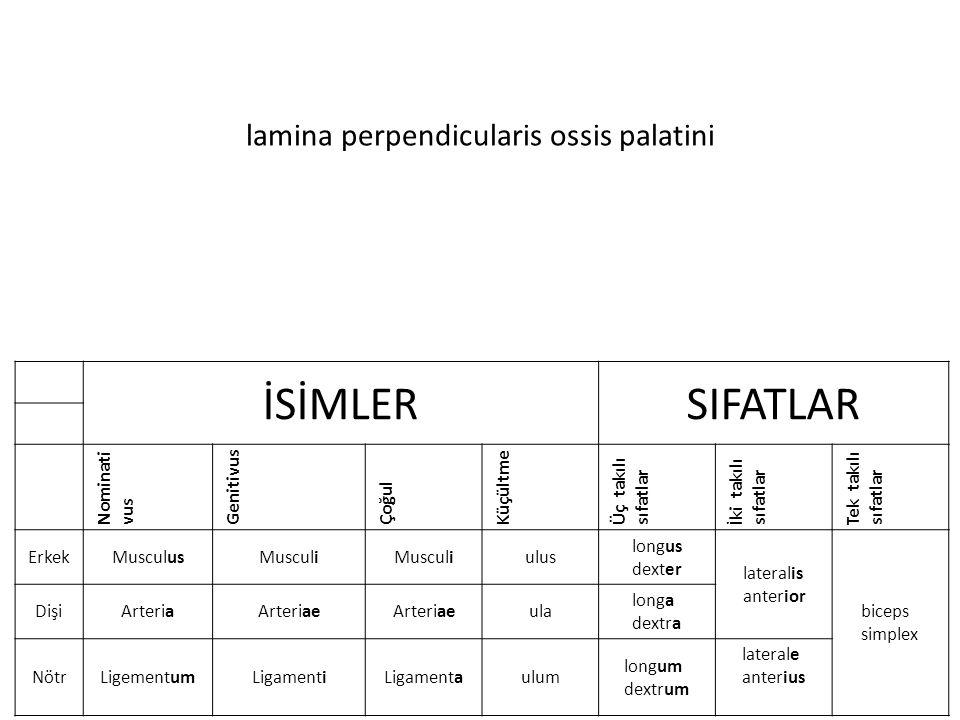 lamina perpendicularis ossis palatini İSİMLERSIFATLAR Nominati vus Genitivus Çoğul Küçültme Üç takılı sıfatlar İki takılı sıfatlar Tek takılı sıfatlar ErkekMusculusMusculi ulus longus dexter lateralis anterior biceps simplex DişiArteriaArteriae ula longa dextra NötrLigementumLigamentiLigamentaulum longum dextrum laterale anterius