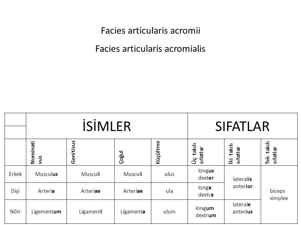 Facies articularis acromii Facies articularis acromialis İSİMLERSIFATLAR Nominati vus Genitivus Çoğul Küçültme Üç takılı sıfatlar İki takılı sıfatlar Tek takılı sıfatlar ErkekMusculusMusculi ulus longus dexter lateralis anterior biceps simplex DişiArteriaArteriae ula longa dextra NötrLigementumLigamentiLigamentaulum longum dextrum laterale anterius