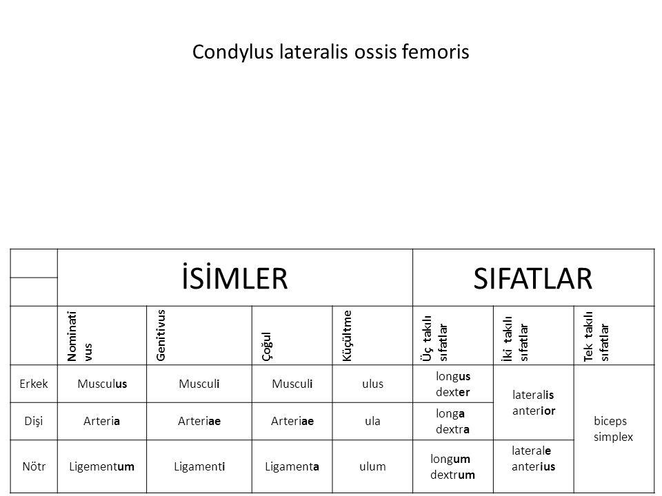 Condylus lateralis ossis femoris İSİMLERSIFATLAR Nominati vus Genitivus Çoğul Küçültme Üç takılı sıfatlar İki takılı sıfatlar Tek takılı sıfatlar ErkekMusculusMusculi ulus longus dexter lateralis anterior biceps simplex DişiArteriaArteriae ula longa dextra NötrLigementumLigamentiLigamentaulum longum dextrum laterale anterius