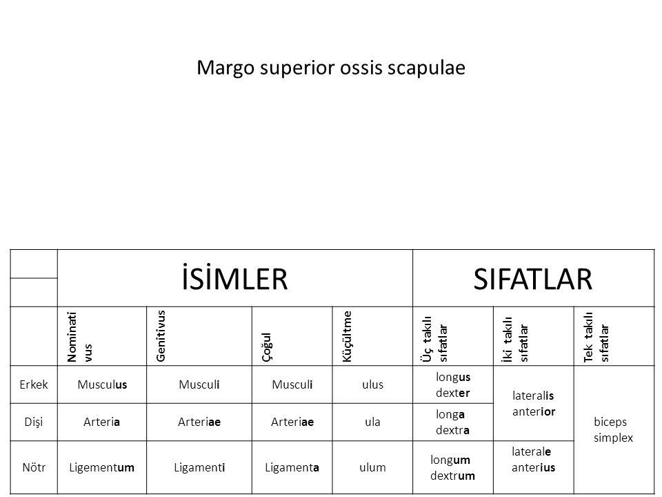 Margo superior ossis scapulae İSİMLERSIFATLAR Nominati vus Genitivus Çoğul Küçültme Üç takılı sıfatlar İki takılı sıfatlar Tek takılı sıfatlar ErkekMu