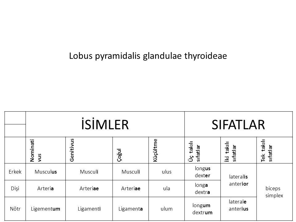 Lobus pyramidalis glandulae thyroideae İSİMLERSIFATLAR Nominati vus Genitivus Çoğul Küçültme Üç takılı sıfatlar İki takılı sıfatlar Tek takılı sıfatlar ErkekMusculusMusculi ulus longus dexter lateralis anterior biceps simplex DişiArteriaArteriae ula longa dextra NötrLigementumLigamentiLigamentaulum longum dextrum laterale anterius