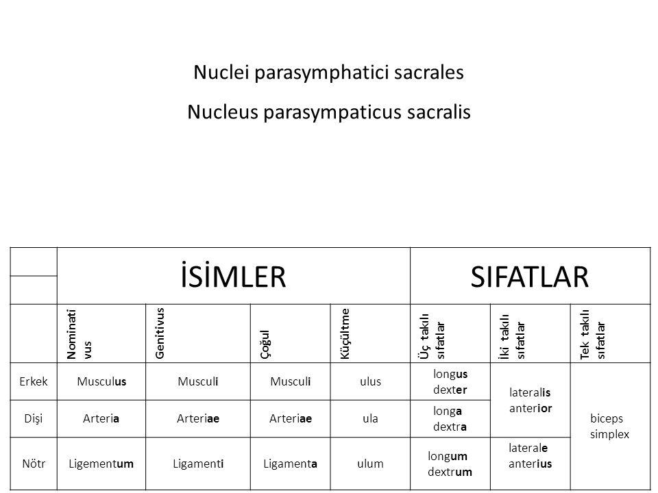 Nuclei parasymphatici sacrales Nucleus parasympaticus sacralis İSİMLERSIFATLAR Nominati vus Genitivus Çoğul Küçültme Üç takılı sıfatlar İki takılı sıfatlar Tek takılı sıfatlar ErkekMusculusMusculi ulus longus dexter lateralis anterior biceps simplex DişiArteriaArteriae ula longa dextra NötrLigementumLigamentiLigamentaulum longum dextrum laterale anterius