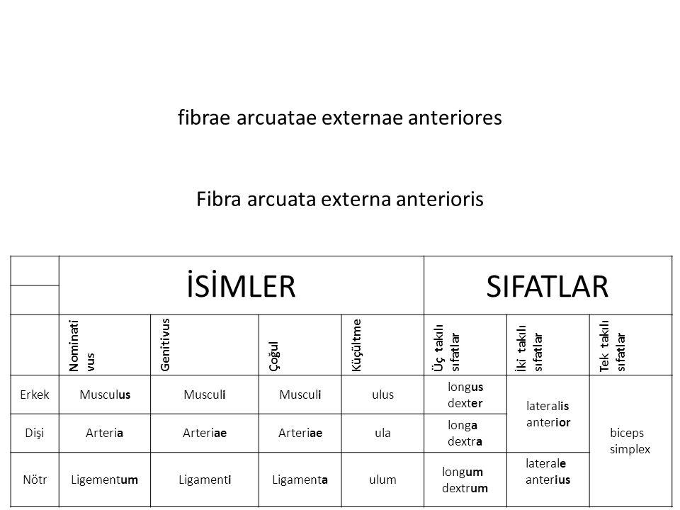 fibrae arcuatae externae anteriores Fibra arcuata externa anterioris İSİMLERSIFATLAR Nominati vus Genitivus Çoğul Küçültme Üç takılı sıfatlar İki takılı sıfatlar Tek takılı sıfatlar ErkekMusculusMusculi ulus longus dexter lateralis anterior biceps simplex DişiArteriaArteriae ula longa dextra NötrLigementumLigamentiLigamentaulum longum dextrum laterale anterius