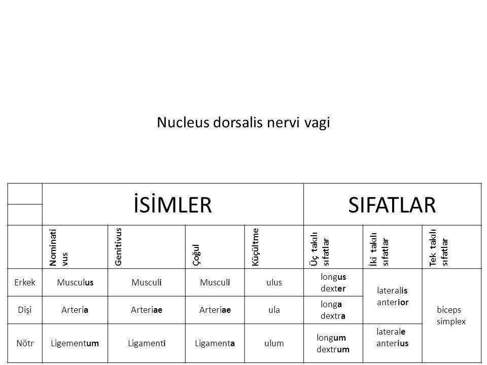 Nucleus dorsalis nervi vagi İSİMLERSIFATLAR Nominati vus Genitivus Çoğul Küçültme Üç takılı sıfatlar İki takılı sıfatlar Tek takılı sıfatlar ErkekMusculusMusculi ulus longus dexter lateralis anterior biceps simplex DişiArteriaArteriae ula longa dextra NötrLigementumLigamentiLigamentaulum longum dextrum laterale anterius