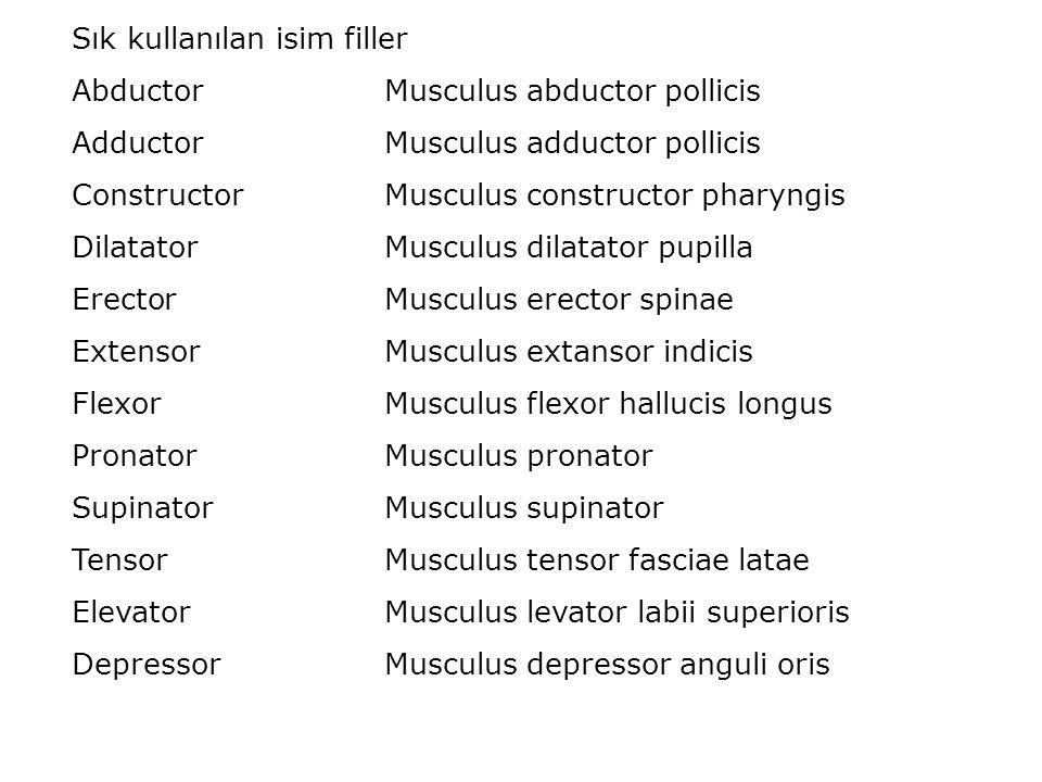 Sık kullanılan isim filler AbductorMusculus abductor pollicis AdductorMusculus adductor pollicis ConstructorMusculus constructor pharyngis DilatatorMu