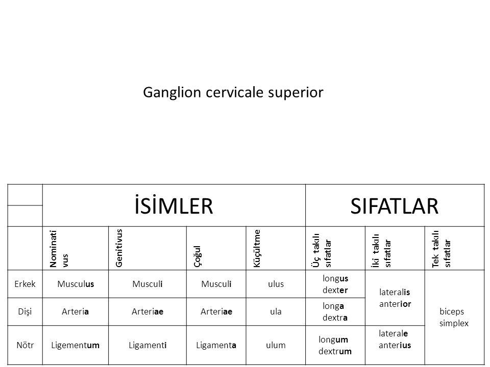 Ganglion cervicale superior İSİMLERSIFATLAR Nominati vus Genitivus Çoğul Küçültme Üç takılı sıfatlar İki takılı sıfatlar Tek takılı sıfatlar ErkekMusculusMusculi ulus longus dexter lateralis anterior biceps simplex DişiArteriaArteriae ula longa dextra NötrLigementumLigamentiLigamentaulum longum dextrum laterale anterius