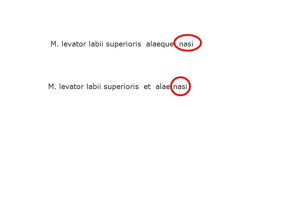 M. levator labii superioris alaeque nasi M. levator labii superioris et alae nasi