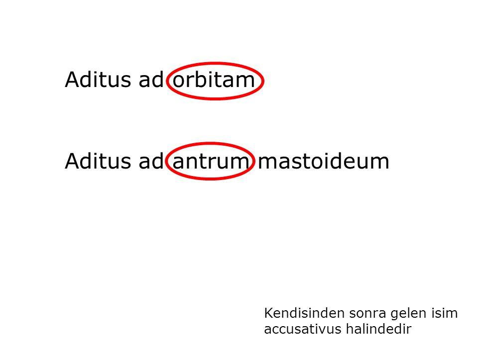 Aditus ad orbitam Aditus ad antrum mastoideum Kendisinden sonra gelen isim accusativus halindedir