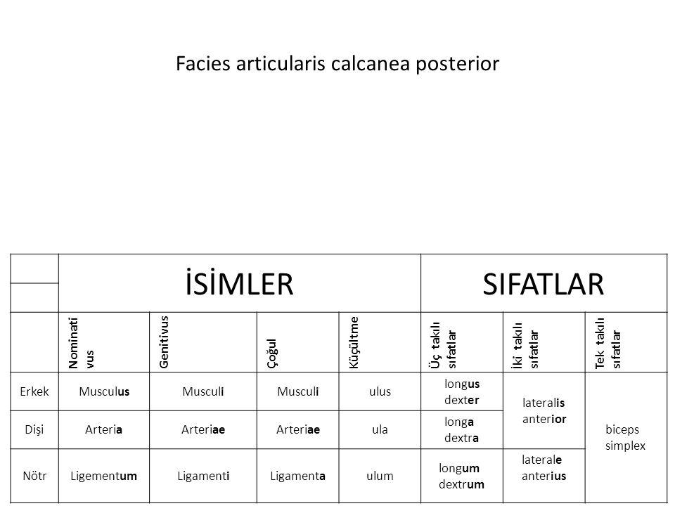 Facies articularis calcanea posterior İSİMLERSIFATLAR Nominati vus Genitivus Çoğul Küçültme Üç takılı sıfatlar İki takılı sıfatlar Tek takılı sıfatlar ErkekMusculusMusculi ulus longus dexter lateralis anterior biceps simplex DişiArteriaArteriae ula longa dextra NötrLigementumLigamentiLigamentaulum longum dextrum laterale anterius