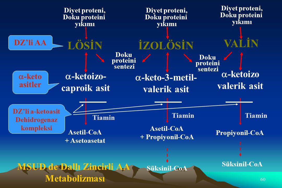 60 Diyet proteni, Doku proteini yıkımı Diyet proteni, Doku proteini yıkımı Diyet proteni, Doku proteini yıkımı LÖSİNİZOLÖSİN VALİN Doku proteini sentezi Doku proteini sentezi  -ketoizo- caproik asit  -keto-3-metil- valerik asit  -ketoizo valerik asit Asetil-CoA + Asetoasetat Asetil-CoA + Propiyonil-CoA Propiyonil-CoA Süksinil-CoA Tiamin MSUD de Dallı Zincirli AA Metabolizması DZ'li AA  -keto asitler DZ'li a-ketoasit Dehidrogenaz kompleksi