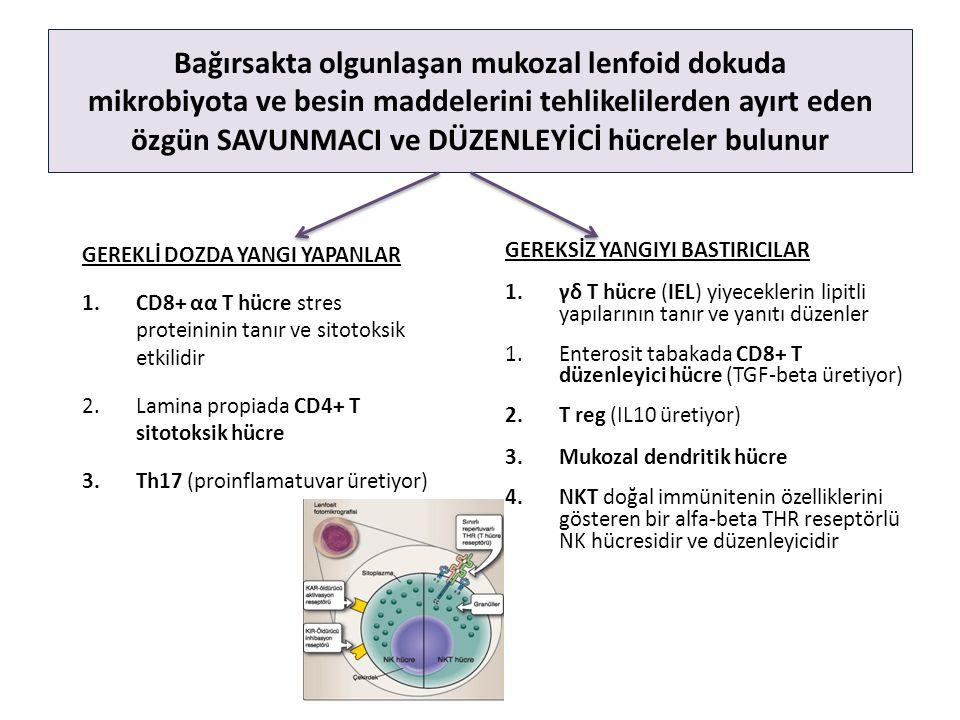 Bağırsakta olgunlaşan mukozal lenfoid dokuda mikrobiyota ve besin maddelerini tehlikelilerden ayırt eden özgün SAVUNMACI ve DÜZENLEYİCİ hücreler bulunur GEREKSİZ YANGIYI BASTIRICILAR 1.γδ T hücre (IEL) yiyeceklerin lipitli yapılarının tanır ve yanıtı düzenler 1.Enterosit tabakada CD8+ T düzenleyici hücre (TGF-beta üretiyor) 2.T reg (IL10 üretiyor) 3.Mukozal dendritik hücre 4.NKT doğal immünitenin özelliklerini gösteren bir alfa-beta THR reseptörlü NK hücresidir ve düzenleyicidir GEREKLİ DOZDA YANGI YAPANLAR 1.CD8+ αα T hücre stres proteininin tanır ve sitotoksik etkilidir 2.Lamina propiada CD4+ T sitotoksik hücre 3.Th17 (proinflamatuvar üretiyor)