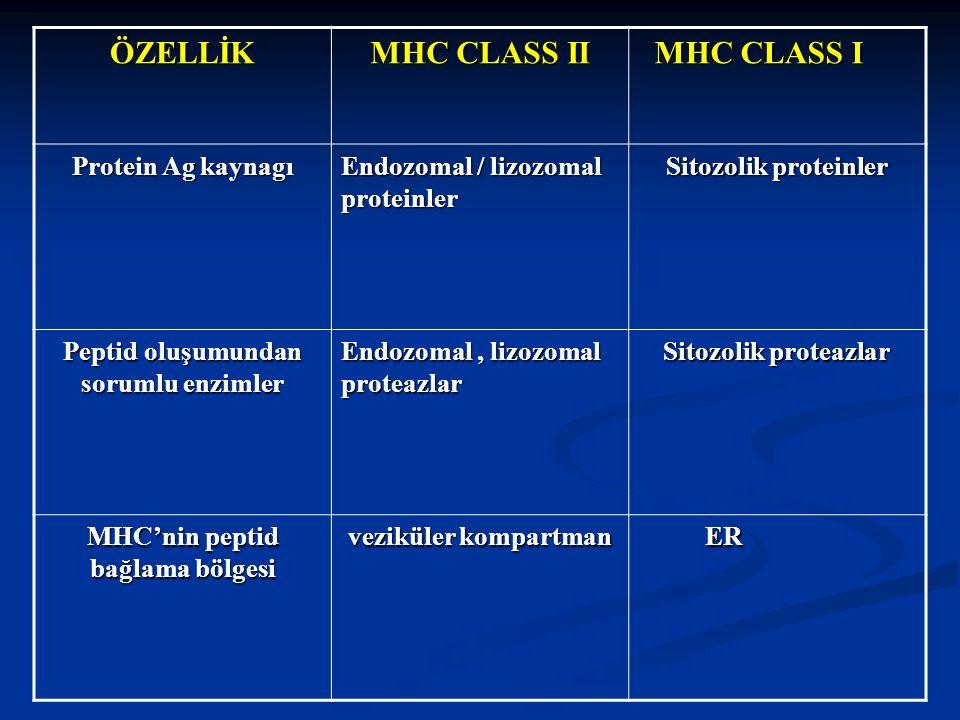 ÖZELLİK MHC CLASS II MHC CLASS I MHC CLASS I Protein Ag kaynagı Endozomal / lizozomal proteinler Sitozolik proteinler Peptid oluşumundan sorumlu enzim