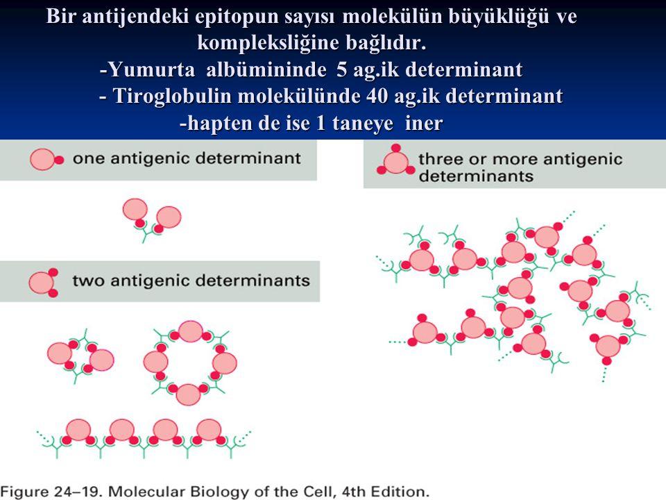 Bir antijendeki epitopun sayısı molekülün büyüklüğü ve kompleksliğine bağlıdır. -Yumurta albümininde 5 ag.ik determinant - Tiroglobulin molekülünde 40