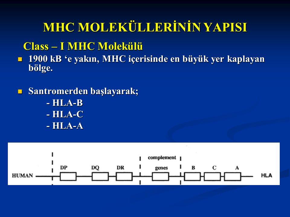 MHC MOLEKÜLLERİNİN YAPISI Class – I MHC Molekülü Class – I MHC Molekülü 1900 kB 'e yakın, MHC içerisinde en büyük yer kaplayan bölge. 1900 kB 'e yakın