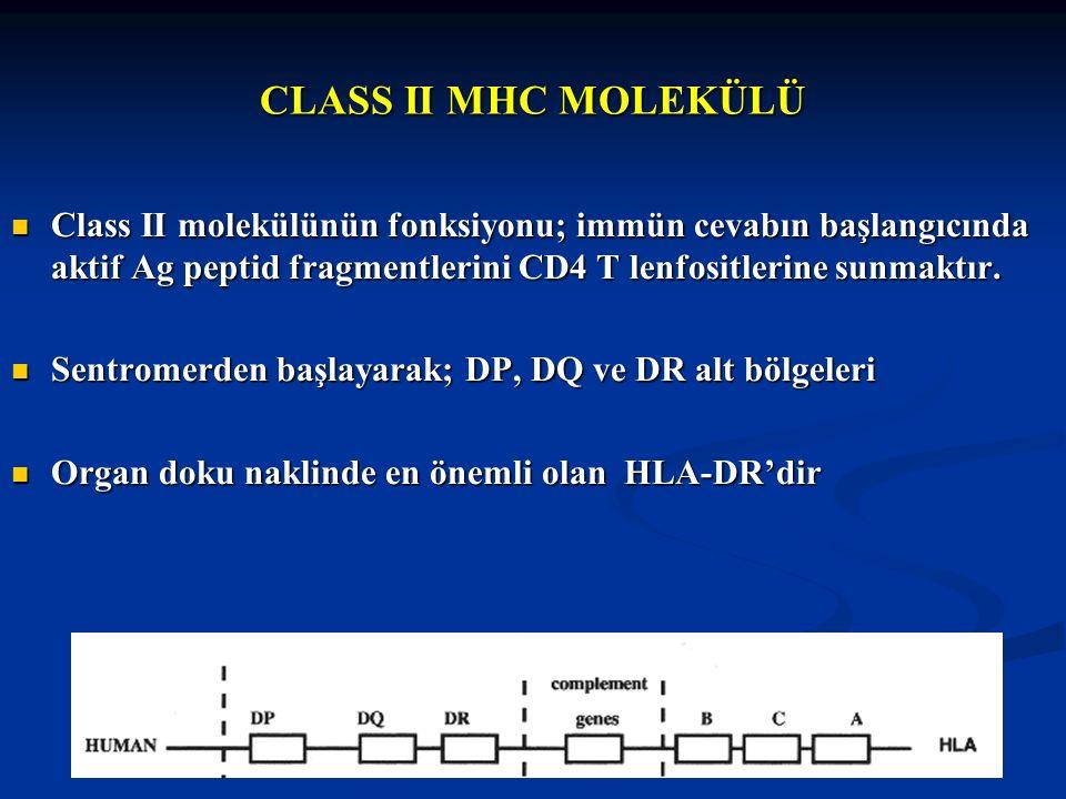 CLASS II MHC MOLEKÜLÜ Class II molekülünün fonksiyonu; immün cevabın başlangıcında aktif Ag peptid fragmentlerini CD4 T lenfositlerine sunmaktır. Clas