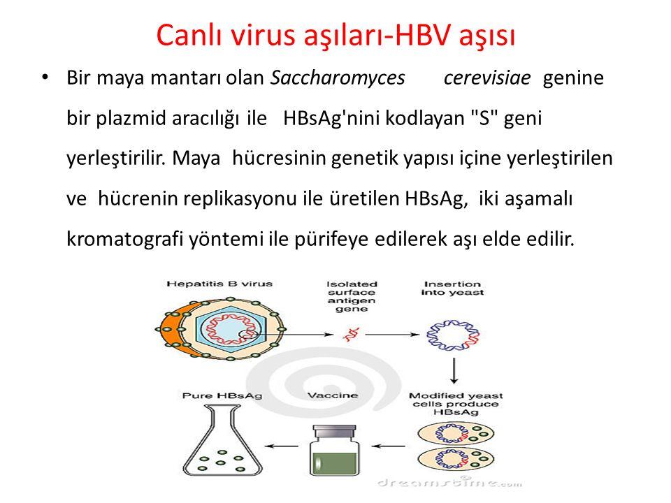 Canlı virus aşıları-HBV aşısı Bir maya mantarı olan Saccharomyces cerevisiae genine bir plazmid aracılığı ile HBsAg'nini kodlayan