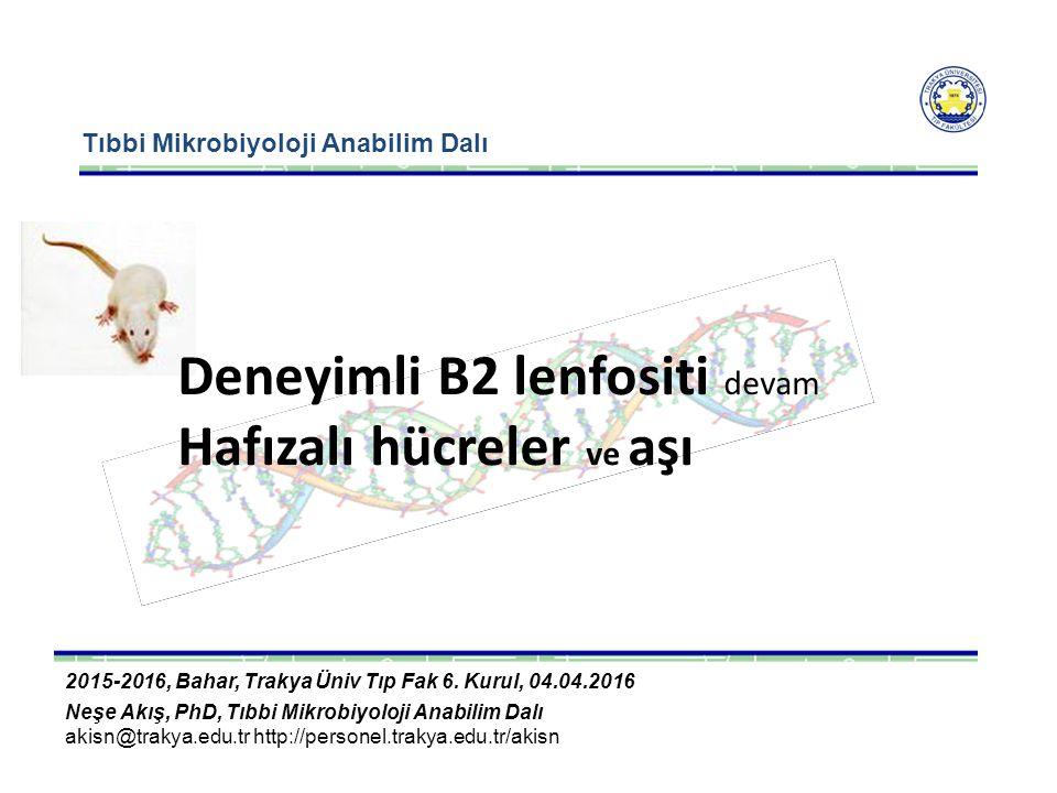 CD19 ve CD21 eşuyarımıyla aktiflenen B2 nin 4 gün içinde deneyimli hale geçmesi 7