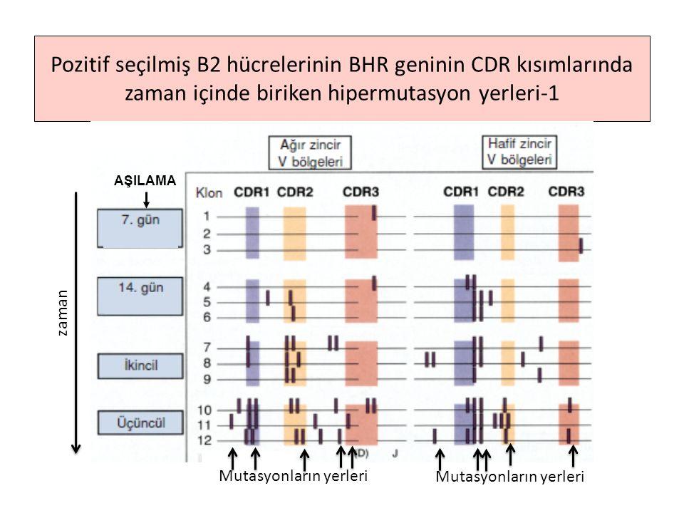 Pozitif seçilmiş B2 hücrelerinin BHR geninin CDR kısımlarında zaman içinde biriken hipermutasyon yerleri-1 AŞILAMA zaman Mutasyonların yerleri