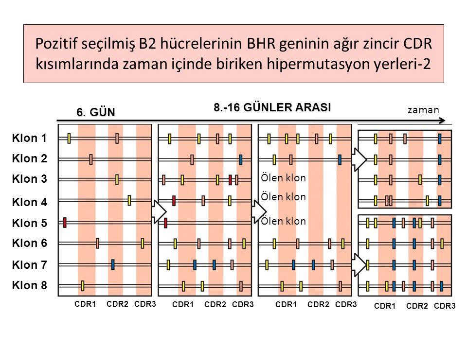 6. GÜN 8.-16 GÜNLER ARASI CDR1 CDR2 CDR3 Klon 1 Klon 2 Klon 3 Klon 4 Klon 5 Klon 6 Klon 7 Klon 8 Pozitif seçilmiş B2 hücrelerinin BHR geninin ağır zin