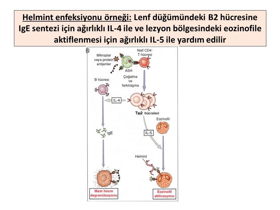 Helmint enfeksiyonu örneği: Lenf düğümündeki B2 hücresine IgE sentezi için ağırlıklı IL-4 ile ve lezyon bölgesindeki eozinofile aktiflenmesi için ağırlıklı IL-5 ile yardım edilir
