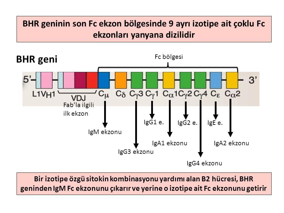 BHR geninin son Fc ekzon bölgesinde 9 ayrı izotipe ait çoklu Fc ekzonları yanyana dizilidir Fab'la ilgili ilk ekzon IgM ekzonu BHR geni Fc bölgesi IgG3 ekzonu IgG1 e.