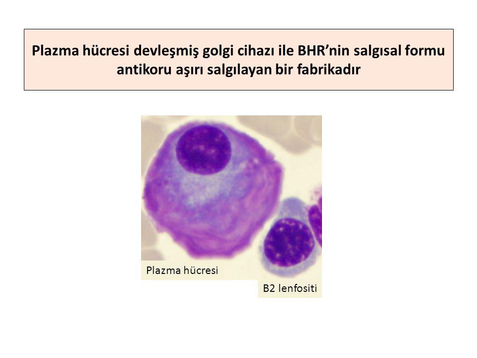 Plazma hücresi devleşmiş golgi cihazı ile BHR'nin salgısal formu antikoru aşırı salgılayan bir fabrikadır Plazma hücresi B2 lenfositi