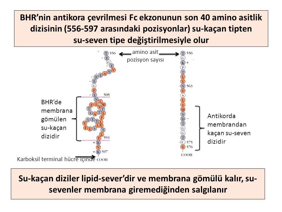 Su-kaçan diziler lipid-sever'dir ve membrana gömülü kalır, su- sevenler membrana giremediğinden salgılanır BHR'nin antikora çevrilmesi Fc ekzonunun son 40 amino asitlik dizisinin (556-597 arasındaki pozisyonlar) su-kaçan tipten su-seven tipe değiştirilmesiyle olur BHR'de membrana gömülen su-kaçan dizidir Antikorda membrandan kaçan su-seven dizidir amino asit pozisyon sayısı Karboksil terminal hücre içinde