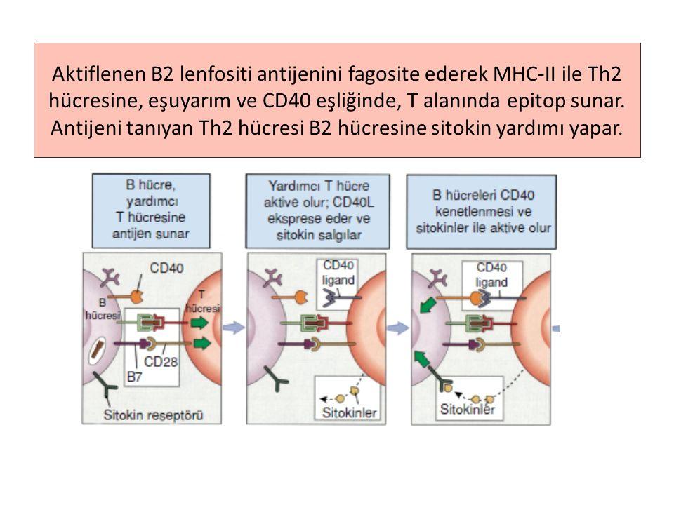 CD19 ve CD21 eşuyarımıyla aktiflenen B2 hücresinin deneyimli hale geçmesi aşağıdaki basamakları tamamlanmasıyla gerçekleşir –devam 2 ①Th2 hücresi aktiflenen bu B2 hücresine yardım verecektir, ancak önce, her iki hücrenin de aynı antijenden etkilendiği kesinleşmelidir.