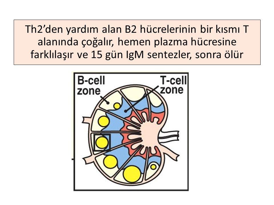 Th2'den yardım alan B2 hücrelerinin bir kısmı T alanında çoğalır, hemen plazma hücresine farklılaşır ve 15 gün IgM sentezler, sonra ölür