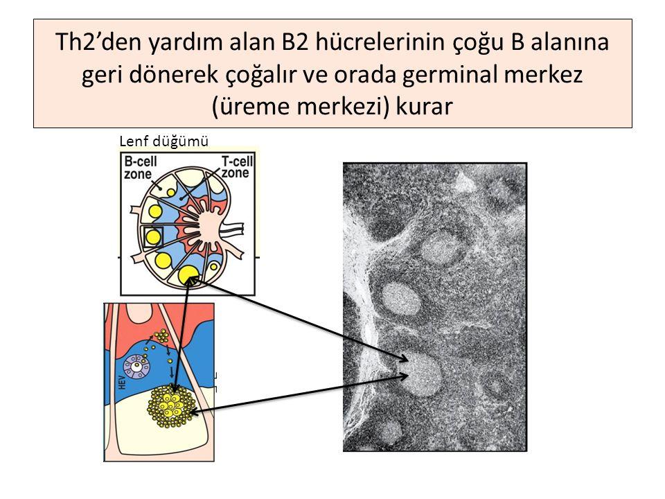 Th2'den yardım alan B2 hücrelerinin çoğu B alanına geri dönerek çoğalır ve orada germinal merkez (üreme merkezi) kurar Lenf düğümü