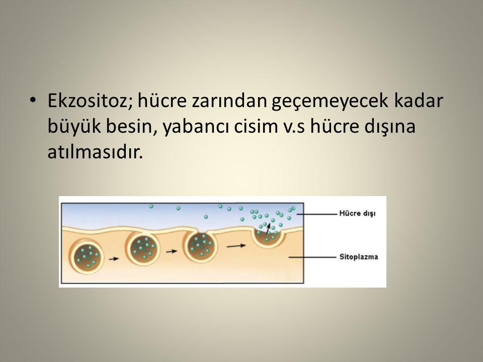 Ekzositoz; hücre zarından geçemeyecek kadar büyük besin, yabancı cisim v.s hücre dışına atılmasıdır.