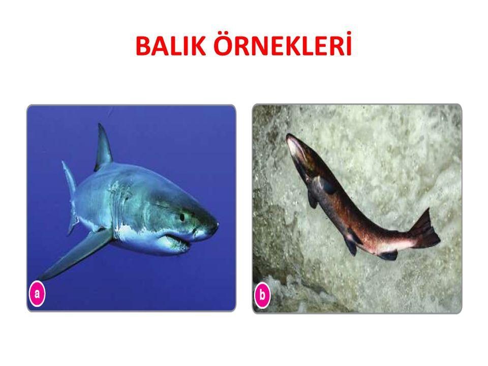 BALIK ÖRNEKLERİ