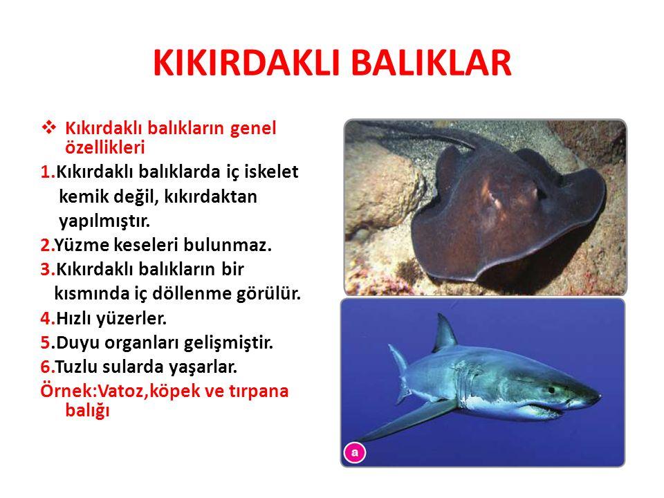 KIKIRDAKLI BALIKLAR  Kıkırdaklı balıkların genel özellikleri 1.Kıkırdaklı balıklarda iç iskelet kemik değil, kıkırdaktan yapılmıştır. 2.Yüzme keseler
