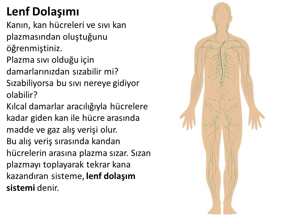 Lenf Dolaşımı Kanın, kan hücreleri ve sıvı kan plazmasından oluştuğunu öğrenmiştiniz. Plazma sıvı olduğu için damarlarınızdan sızabilir mi? Sızabiliyo