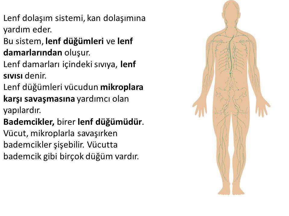 Lenf dolaşım sistemi, kan dolaşımına yardım eder. Bu sistem, lenf düğümleri ve lenf damarlarından oluşur. Lenf damarları içindeki sıvıya, lenf sıvısı