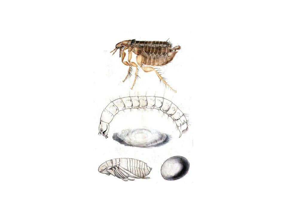 Tedavi Uygulamaları Bu amaçla kene mücadelesinde yapılan uygulamalar seçilebilirBu amaçla kene mücadelesinde yapılan uygulamalar seçilebilir Ektoparaziter mücadelenin bir sürü mücadelesi olduğu unutulmamalıdırEktoparaziter mücadelenin bir sürü mücadelesi olduğu unutulmamalıdır Pire mücadelesinde larvalara karşı mücadeleye öncelikli olarak dikkat edilmelidirPire mücadelesinde larvalara karşı mücadeleye öncelikli olarak dikkat edilmelidir