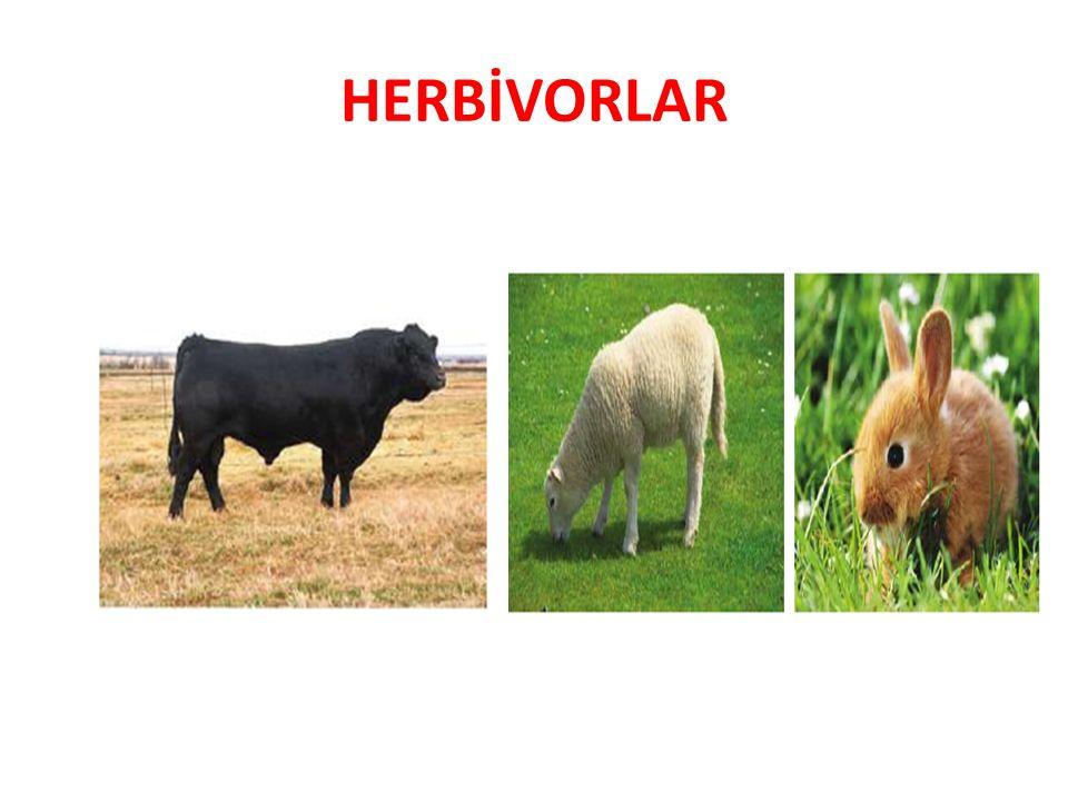 HERBİVORLAR