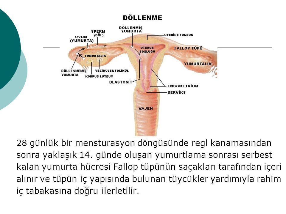 28 günlük bir mensturasyon döngüsünde regl kanamasından sonra yaklaşık 14. günde oluşan yumurtlama sonrası serbest kalan yumurta hücresi Fallop tüpünü