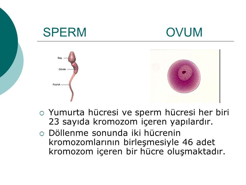 SPERM OVUM  Yumurta hücresi ve sperm hücresi her biri 23 sayıda kromozom içeren yapılardır.  Döllenme sonunda iki hücrenin kromozomlarının birleşmes