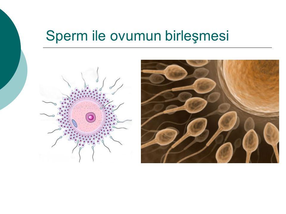 Sperm ile ovumun birleşmesi