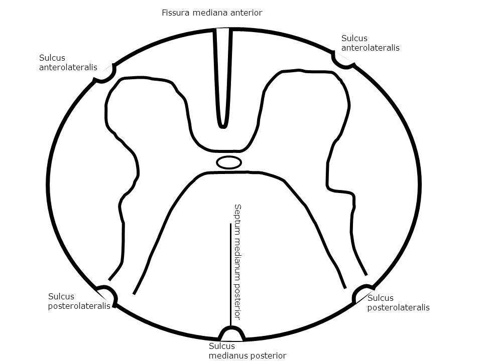 Sulcus anterolateralis Sulcus anterolateralis Sulcus posterolateralis Sulcus posterolateralis Fissura mediana anterior Sulcus medianus posterior Septu