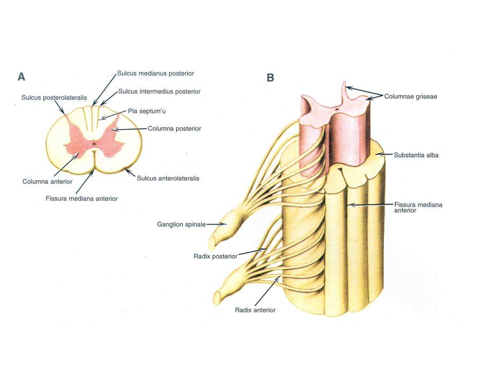 Columna anterior Columna posterior Columna intermedia Funiculus anterior Funiculus posterior Funiculus lateralis