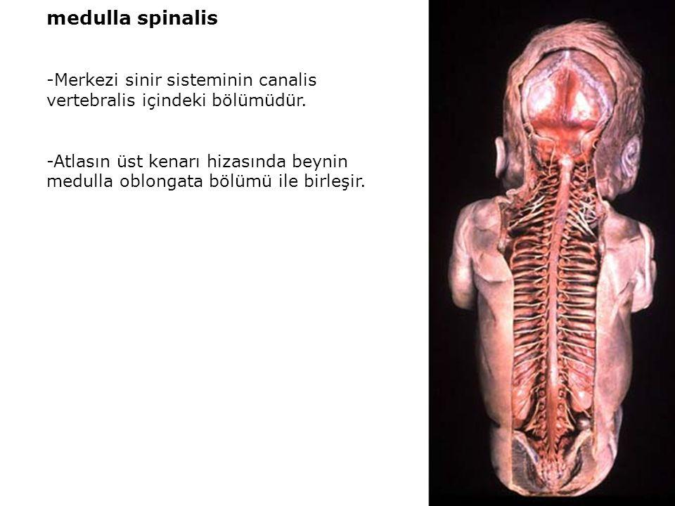 medulla spinalis -Merkezi sinir sisteminin canalis vertebralis içindeki bölümüdür. -Atlasın üst kenarı hizasında beynin medulla oblongata bölümü ile b