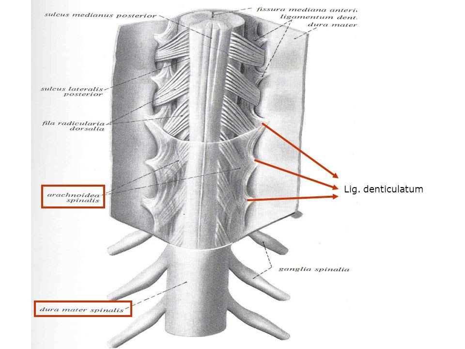 Lig. denticulatum