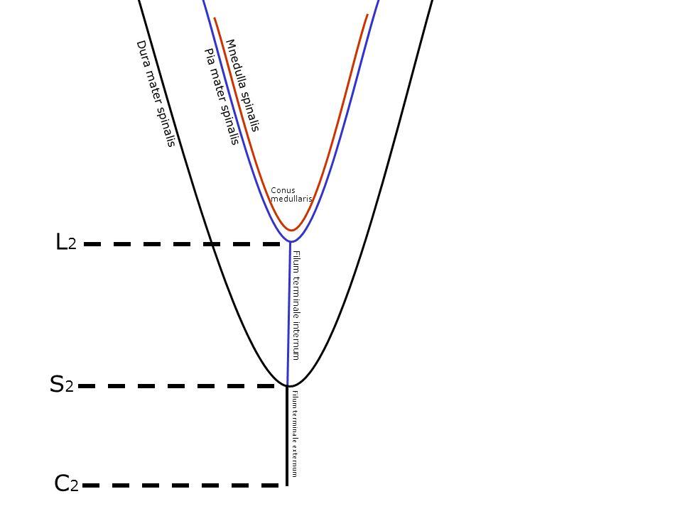 Filum terminale externum Filum terminale internum Dura mater spinalis Pia mater spinalis Conus medullaris Mnedulla spinalis S2S2 C2C2 L2L2